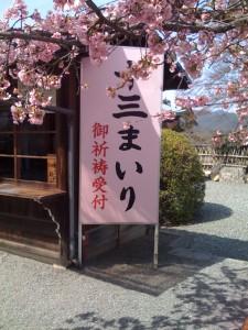 桜は一本だけ満開でした