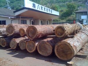 杉の原木 太いもので100年生ぐらいでしょうか